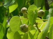 mancenillier manzanillo Costa Rica