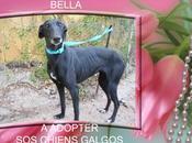 Bella galga hyper gentille adopter chez chiens galgos