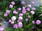 Ciboulette version fleur, effet rapide pour jardin facile