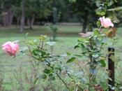 Laetitia Casta, rosier