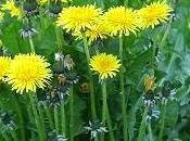 bienfaits pissenlit (Taraxacum officinale)