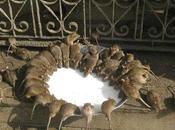 Sacrés rats villes champs