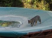 petit chat piscine
