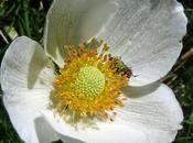 Anemone sylvestris (Anémone sauvage)