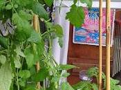pieds tomates test permaculture 2015