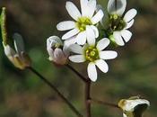 Drave printanière (Erophila verna)