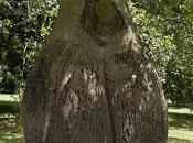 Brachychiton: arbre bouteille australien
