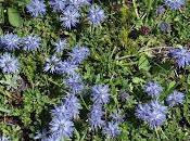 Fleurs Alpes: Globularia Globulaires Kugelblumen