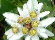 Fleurs Alpes: Edelweiss Etoile neiges