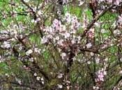 arbuste fleuri: prunus tomentosa
