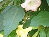 arbuste fleuri: brugmansia.