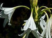 crinum plante bulbe fleurs extraordinaires