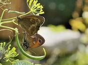 Photo jour accouplement papillons potager
