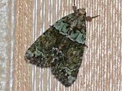 chenille papillon nourrit lichens...
