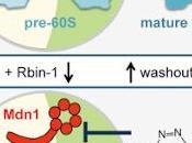 #Cell #biogénèse #ribosomeseucaryotes Inhibiteurs chimiques actifs, spécifiques réversibles biogénèse ribosomes eucaryotes