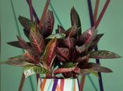 """Plante mois d'octobre plante bonheur"""": l'Aglaonéma"""