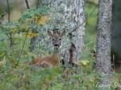 curiosité chevreuil forestier