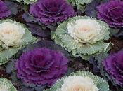 Choux décoratifs Brassicas