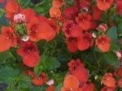 rocaille potée, diascia reste fleuri tout l'été