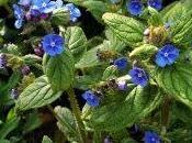 vivace pour l'ombre fleurs bleues: buglosse