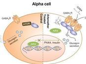 #cell #artemisinines #cellulesα #cellulesβ #gephyrin #GABA artemisinines ciblent voie signalisation récepteur GABA modifient l'identité cellules