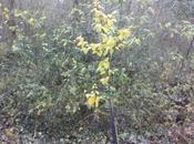 cognassiers automne