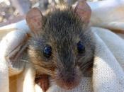 rongeur australien, premier mammifère disparaître cause réchauffement climatique