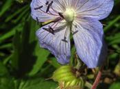 Géranium prés (Geranium pratense)