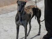 Petite galga pleine douceur agée 2ans demie l'adoption l'association chiens galgos