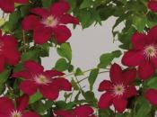 plante fleurie grimpante pour terrasse jardin Clématite