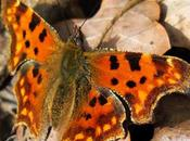 Gamma, Robert diable (Polygonia c-album)