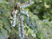 Mahonia, fruits