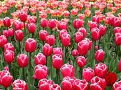 tulipes Keukenof