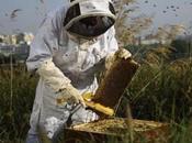 Apiculture. pleine pénurie miel, n'arrivait vendre