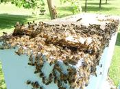 Néonics tueurs d'abeilles doivent demeurer interdits d'usage