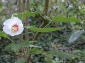 Hibiscus paramutabilis, autres