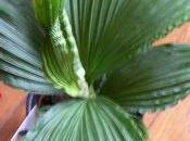 Nouveaute palmier Panama