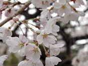 Cerisiers fleur