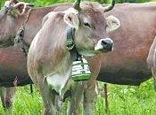 cloche vache