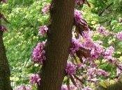 Arbre Judee fleurs tronc branches