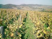 Biodynamie: l'interêt recours l'enherbement vignes selon régions