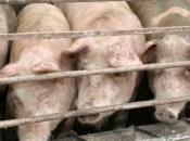Grippe porcine niveau d'alerte atteint, quoi correspond-il
