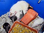 Rats: bébés Harina