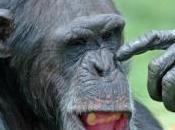 chimpanzé croque doigt directeur