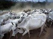 éleveurs bovins l'assaut forêt amazonienne
