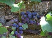Mire d'été grappe raisin