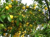 Fruit saison mirabelle