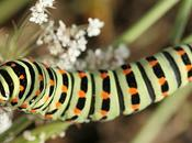 Chenille Machaon (Papilio machaon)