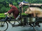Réincarné dans cochon, mieux vaut soit Chine