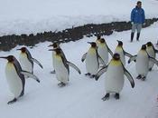 revanche pingouin